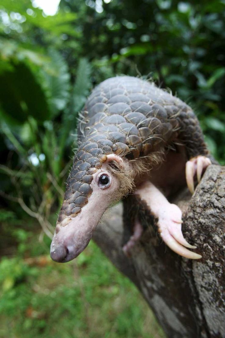 "A pangolin, also referred to as a scaly anteater or trenggiling is a mammal of the order Pholidota. Pangolins have large keratin scales covering its skin and is the only known mammal with this adaptation. It is found naturally in tropical regions throughout Africa and Asia. The name, pangolin, comes from the Malay word, pengguling, meaning ""something that rolls up""."