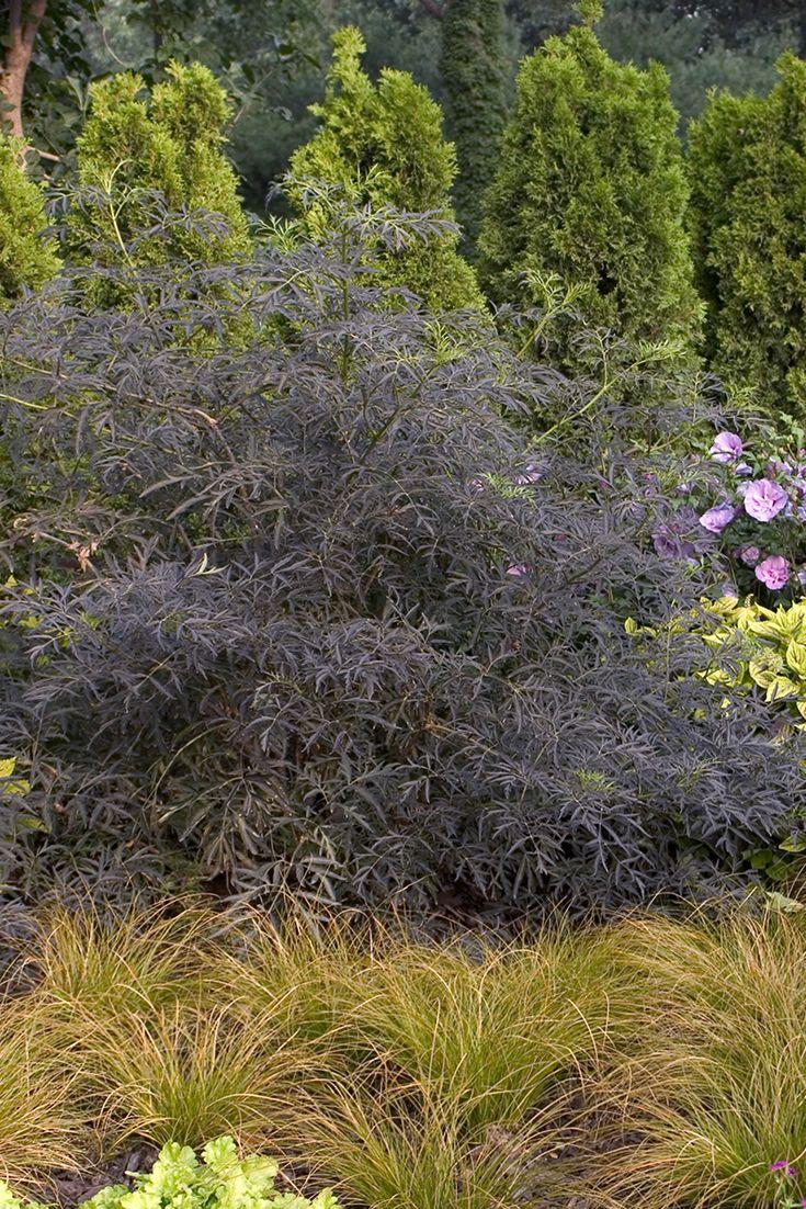 black lace elderberry sambucus nigra jardn secojardn de lluvia rboles