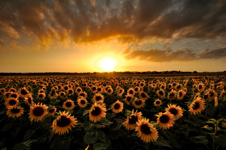 Sunflowers - Meon Valley, Hampshire, England. I love sunflowers so much.