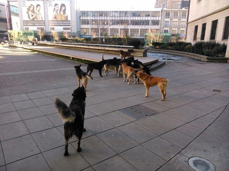 Jauría de perros vagos se toman en centro de Concepción