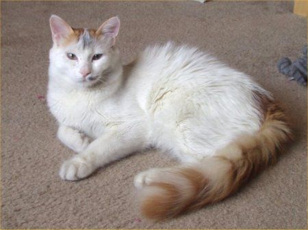 The  Turkish Van cat's coat is considered semi-longhaired. While most Turkish Van cats have three distinct hair types in their coat, guard , awn and down hairs, the Turkish Van only has one. This make the Turkish Van cats' coat feel like cashmere.   Male Turkish Van cats can reach 20 lb and the females weigh about half that. They have massive paws and rippling hard muscle structure which allows them to be very strong jumpers. They can easily jump to the top of a refrigerator from the floor.