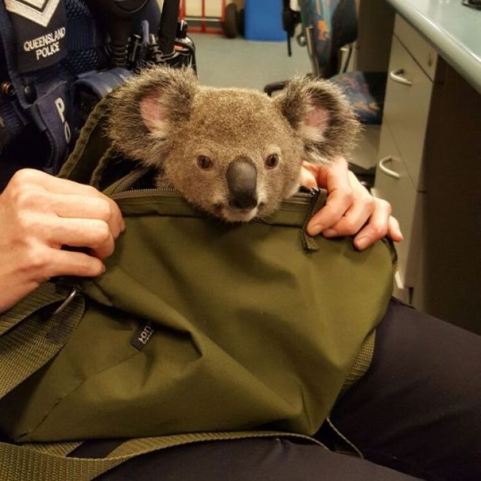 #Baby koala found by police in woman's bag 'responding well to TLC', carers say - ABC Online: ABC Online Baby koala found by police in…