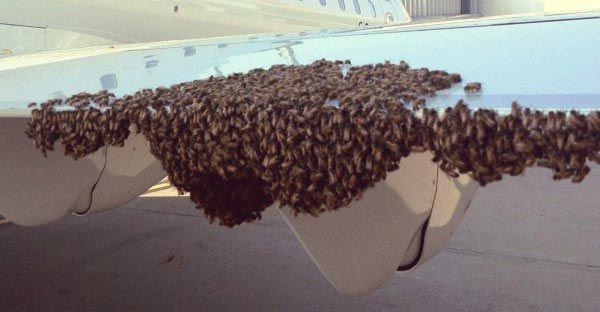 Вылет авиалайнера на Суматре был задержан из-за огромного роя пчел   #Суматра #пчелы #рой_пчел http://islandlife.ru/news_island/286-vylet-avialaynera-na-sumatre-byl-zaderzhan-iz-za-ogromnogo-roya-pchel-foto.html