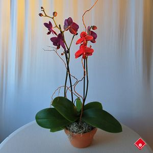 Phalaenopsis orchid in a terracotta pot