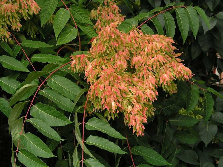 REMEDY OF THE DAY: AILANTHUS GLANDULOSA - A remedy indicated in low grade#fevers #Strep infection Follicular #Tonsilitis | I LOVE HOMEOPATHY http://ift.tt/29840qT