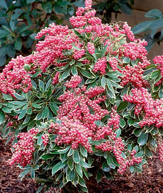 """Pieris, Passion Frost This new variety sparkles, with bright cerise pink flowers in spring. Variegated foliage attract extra attention. A sparkling new variety of the lily-of-the-valley shrub. Throughout spring, the plant is festooned with pendulous clusters of bright cerise-red-pink flowers, framed by uniformly variegated foliage. Pot Size: 4"""""""