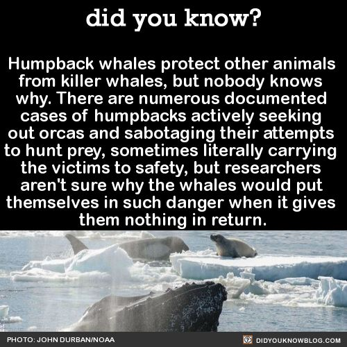 Humpback whales protect other animals from killer whales, but nobody knows why. Source Source 2 Source 3 This is a picture of a humpback that placed a seal onto its upturned belly in order to move it towards safety. When the seal started to slip off,...