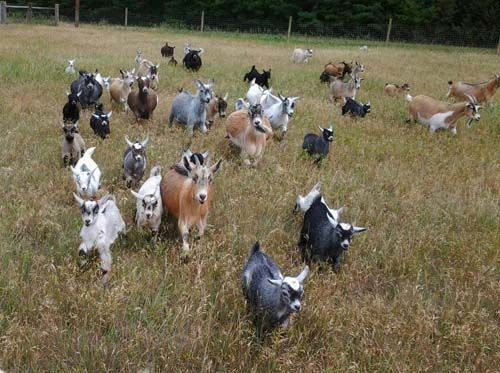 Pygmy goat care and maintenance tasks are very easy, compared to other goat breeds. They are smaller in size and it's very easy to care for pygmy goats effectively.