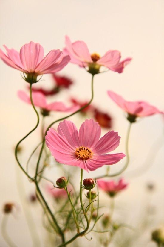 COSMOS, me gustan, otoño campos llenos de flor, pinceladas de rosa en el campo, me gusta como huele la flor al frotarla entre  los dedos, huele rIcO (=. huele a cosmos.. #girasoles