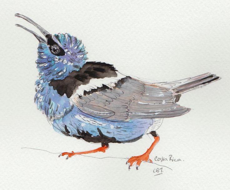 http://www.turquoisemoon.co.uk  #birds #waterColours #CentralAmerica