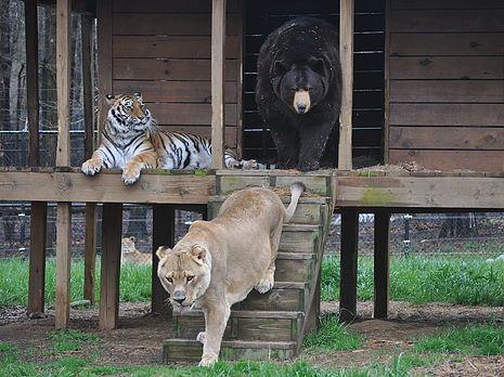 """Baloo o urso preto americano (Ursus americanus), Leo o leão Africano (Panthera leo), e Shere Khan o tigre de Bengala (Panthera tigris tigris); conhecido como """"O BLT (Bear Lion Tiger)"""" veio a Arca de Noé, em 2001"""