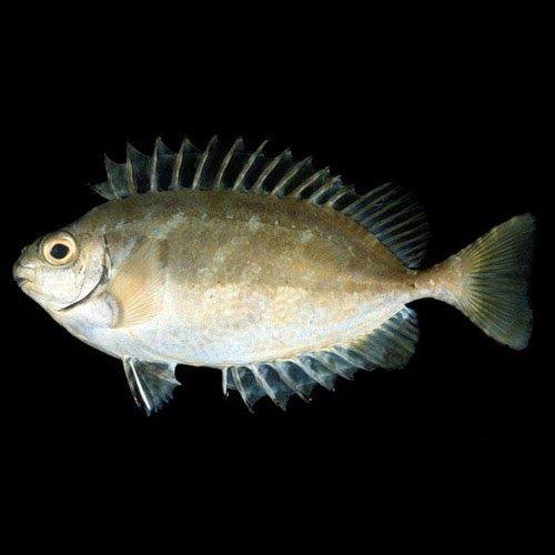 Due esemplari di `pesce coniglio scuro´, originari del Mar Rosso, sono stati catturati da un pescatore salentino che aveva gettato le sue...