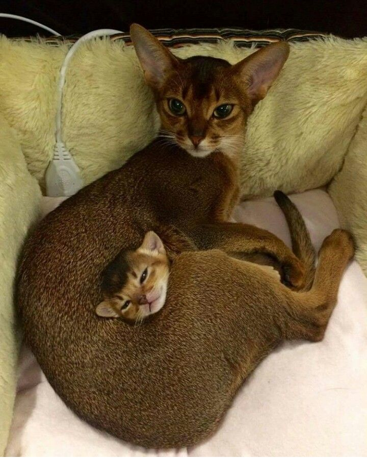 Some day I will have my Abyssinian cat!
