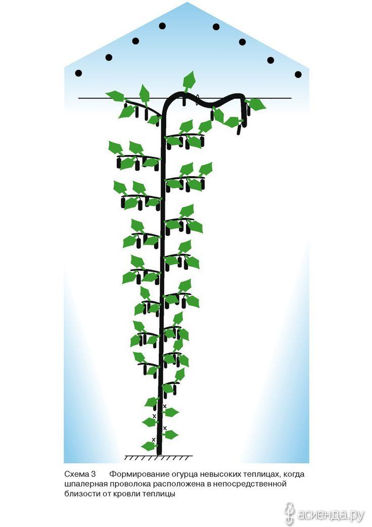 У большинства сортов и гибридов огурца в пазухах листьев формируются одиночные или парные женские цветки. Но есть гибриды, образующие в каждом узле по 3 и более женских цветков...