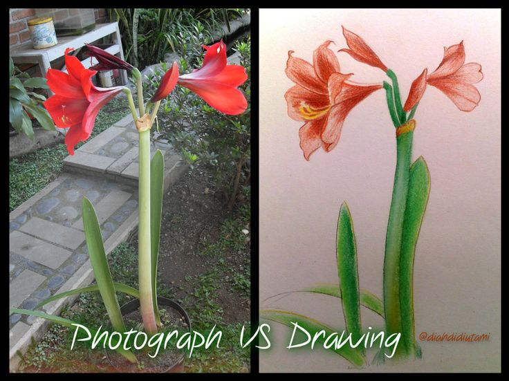 The bloody red flower. Beautiful, both on photograph and drawing.