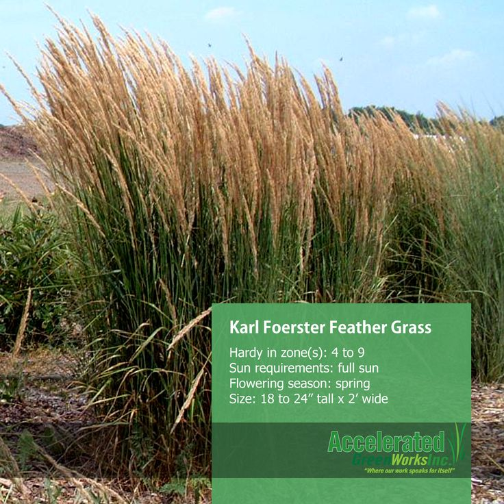 Karl Foerster Feather Grass