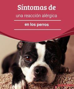 Síntomas de una reacción alérgica en los perros   ¿A qué son alérgicos los perros? ¿Cómo puedo saber si mi perro tiene una alergia? ¿Qué debo hacer si estoy seguro de que la tiene? #cuidadados #perro #alérgia #salud