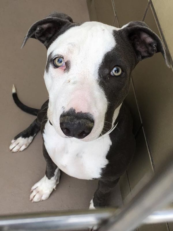 11/2/15 GORGEOUS PUP FIONA IS WAY PAST DUE*** RIVERSIDE, CALIFORNIA!! FIONA - ID #A1232089 (Available NOW) Overbite alert ❤ I am a female, brown & white Pit Bull Terrier mix about 1 year & 1 month old. I have been at the shelter since Sep 26, 2015. Riverside County Animal Control - (951) 358-7387 https://www.facebook.com/1403036200019402/photos/a.1403050556684633.1073741828.1403036200019402/1504236529899368/?type=3&permPage=1