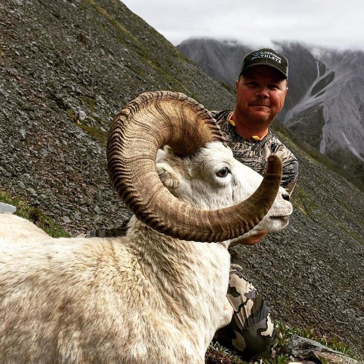 Check out this beauty of a ram! Successful start to the season for Midnight Sun Outfitting in the pristine Yukon Territory of Canada. #DreamSportingTrips