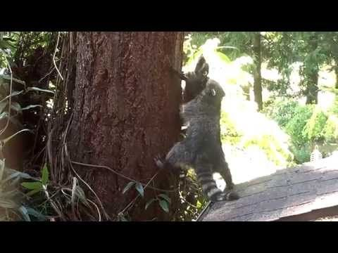 This video shows a patient mother raccoon trying to teach her cub how to climb a tree.