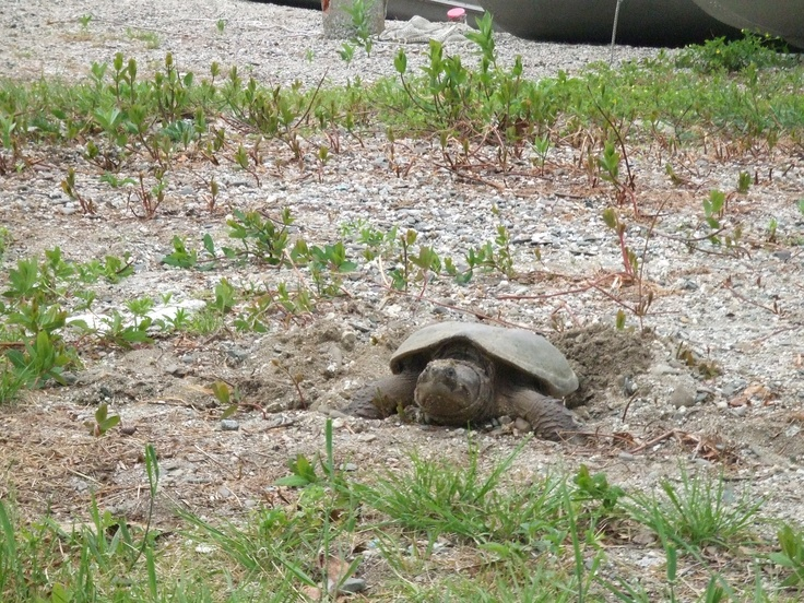 Green Lake Snapping Turtle | Maine | Snapping turtle ...
