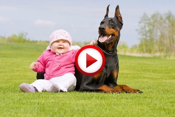 Child Playing With Dangerous Dobermann Video #animals, #dogs, #funny, #videos, #pinsland, https://apps.facebook.com/yangutu
