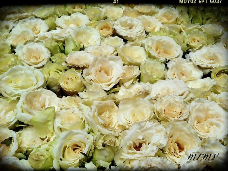 carpet of roses