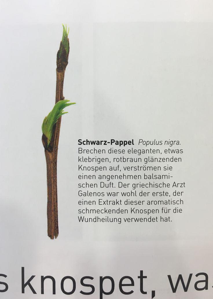 Schwarz Pappel baum