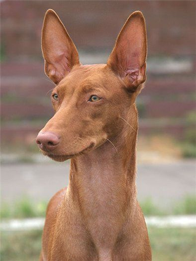 Pharaoh Hound - the oldest of the existing species#Our favourite dogs