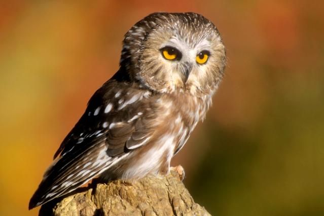 Facts about owls, a group of birds known for their distinct calls, nocturnal habits, and silent flight. There are about 205 species of owls.