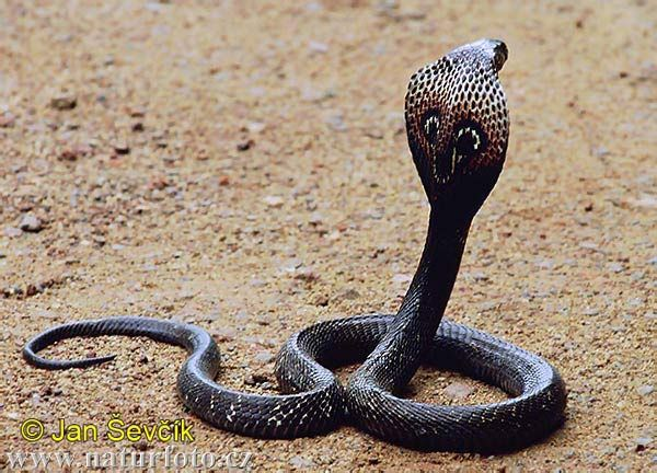 Indian Cobra (Spectacled Cobra, Asian Cobra, Binocellate Cobra) - Naja naja - Found in India and Pakistan, this species of snake is of the family Elapidae. Description from pinterest.com. I searched for this on bing.com/images