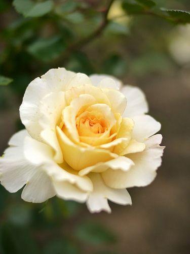 'Lemon & Ginger ' | Hybrid Tea rose. @ T. Kiya
