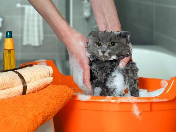 ¿Puedo bañar a mi gato con shampoo normal? - ¡aquí la respuesta!. Los gatos, normalmente, odian el rato del baño porque no les gusta el agua, mojarse, el olor de los jabones ni que los cojamos como queramos para frotarlos, no entienden la necesidad. Además, en el ca...