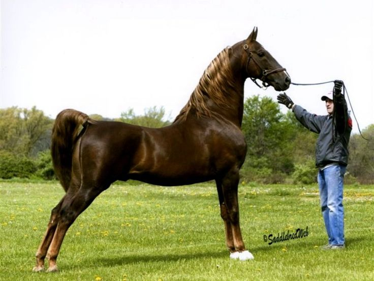 american saddlebred images | Suburb American Saddlebred ...