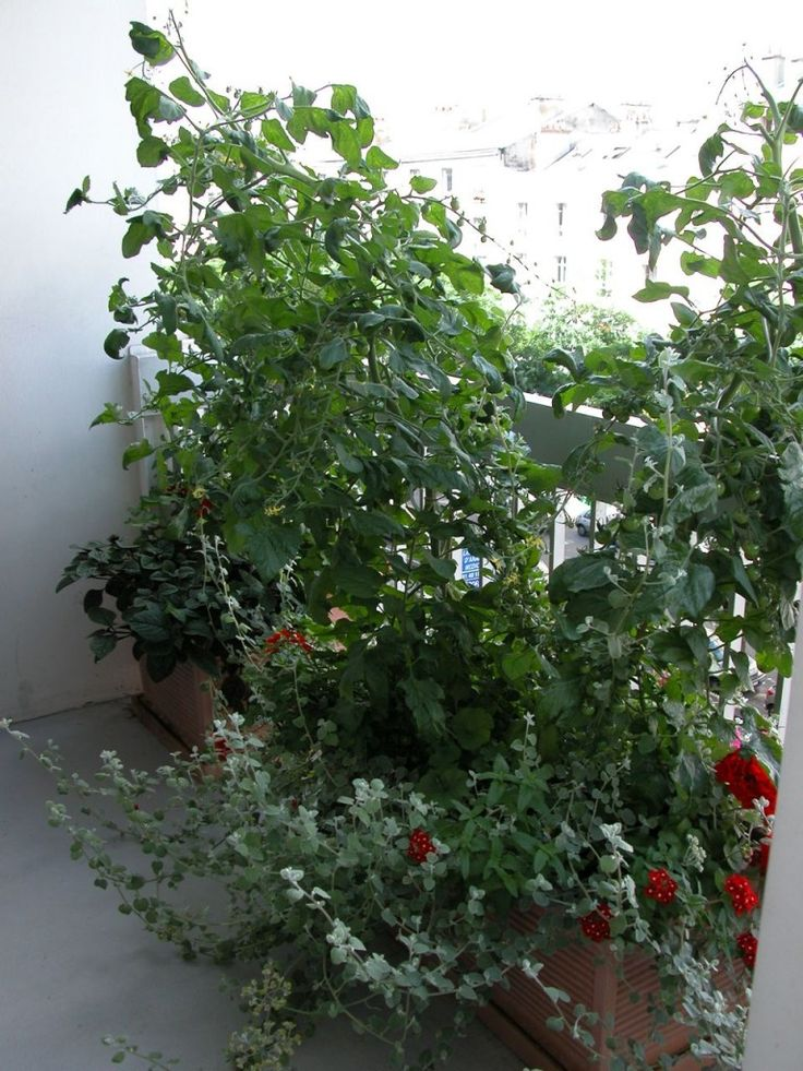 Tomates cerises cultivées dans de grandes jardinières sur balcon