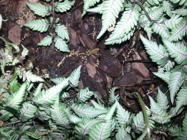 Dividing Japanese Ferns (Athyrium Niponicum Var Pictum)