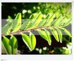Suchodrzew chiński - Lonicera pileata