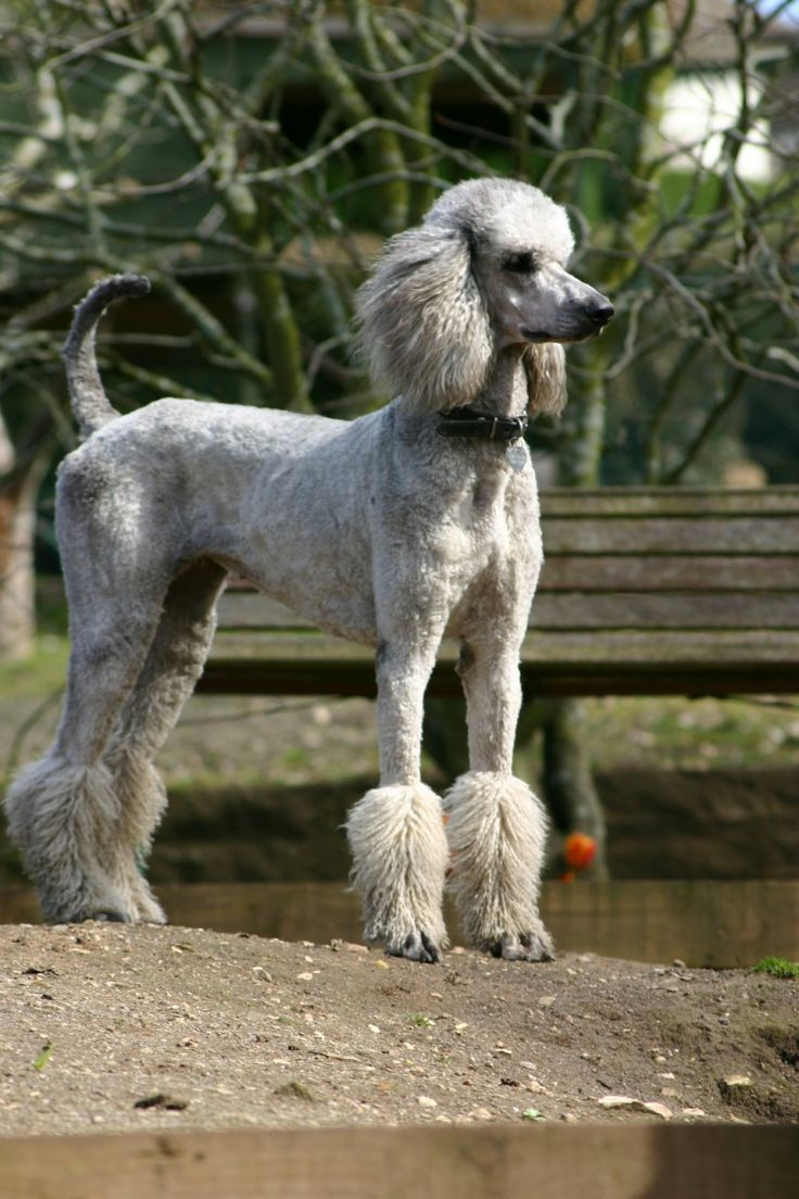 poodle hair cut - Bordre Bad Bilder