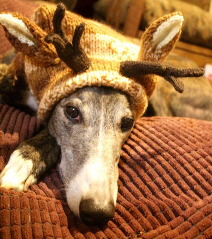 Knitting Pattern For Dog Reindeer Hat : The 50 best images about Alibar Dog Knits on Pinterest ...