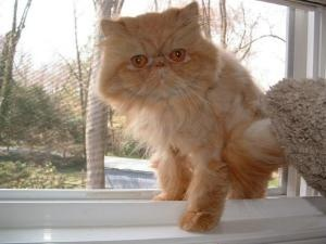 Persian cat rescue north east