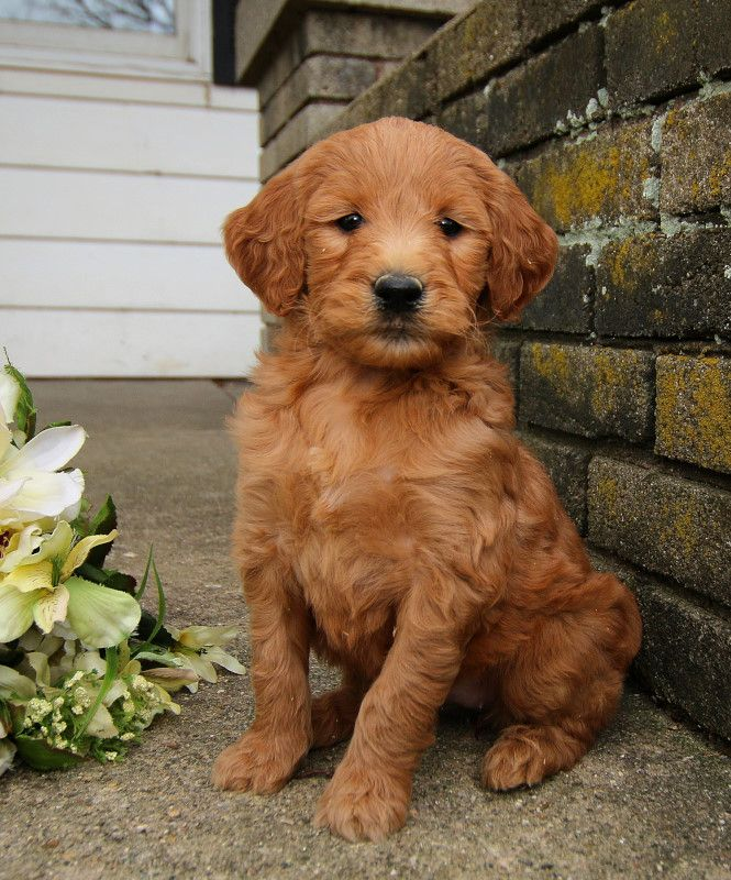 Pin On Goldendoodle Puppies