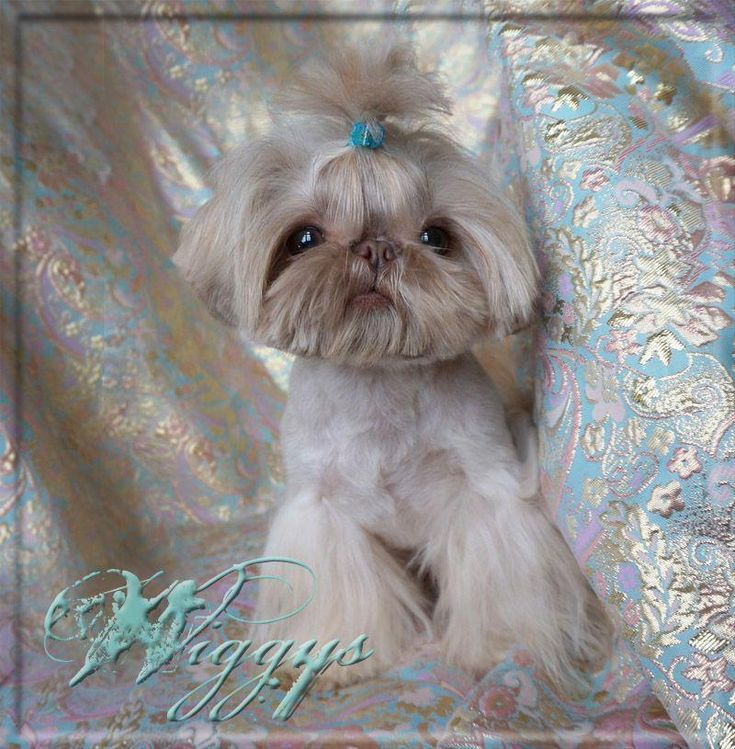 Iron Butterfly Chinese Imperial Shih Tzu Shihtzu Teacup Puppies Shih Tzu Puppy Imperial Shih Tzu