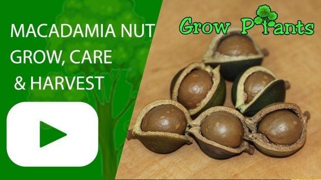 Macadamia Nut Plant Macadamia Nut Tree Macadamia Nuts Macadamia
