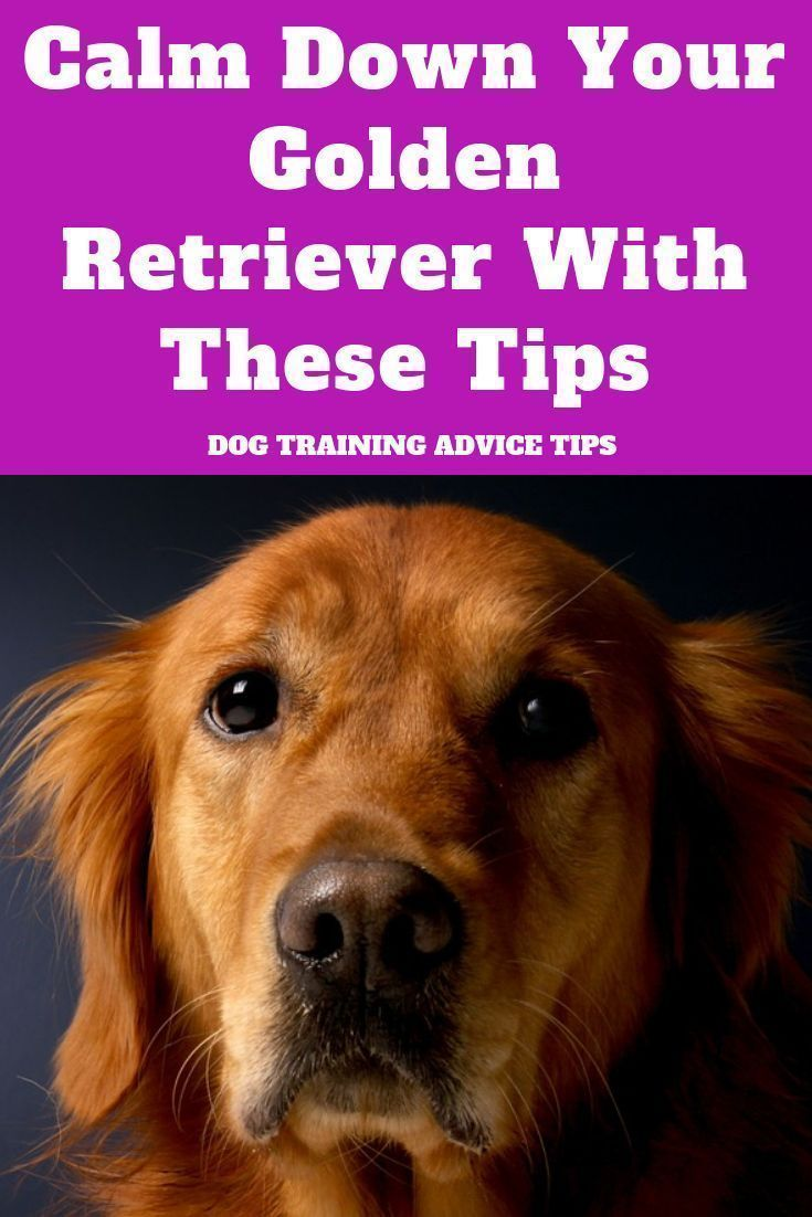 Calm Down Your Golden Retriever With These Tips Dog Training
