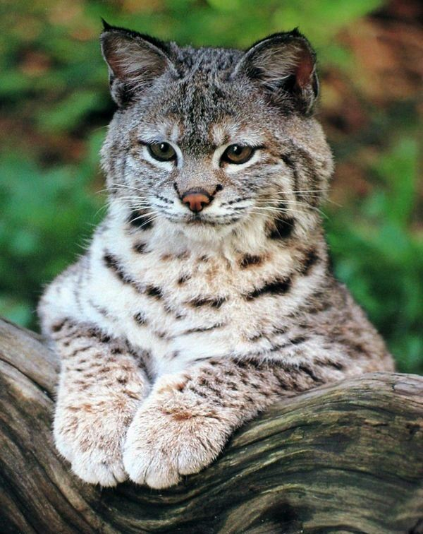 Somewhere in the Northern Taiga there is a special beast, magnificent, but not shaggy, with a tail cut off, with tufts on its ears, but not an angry, trotting, clever people called. Lynx closest to all of the cat family lives to the north. Lynx male - a beast weighty, up to 30 kg its weight category, ladies lynx, if we weigh about 20 kg. The trunk in a twine can reach 1,5 meters. http://lucinews.ru/tsarstvo-zverinoe/rys-proizvol-muzhchin-s-ruzhyami.html#more-25