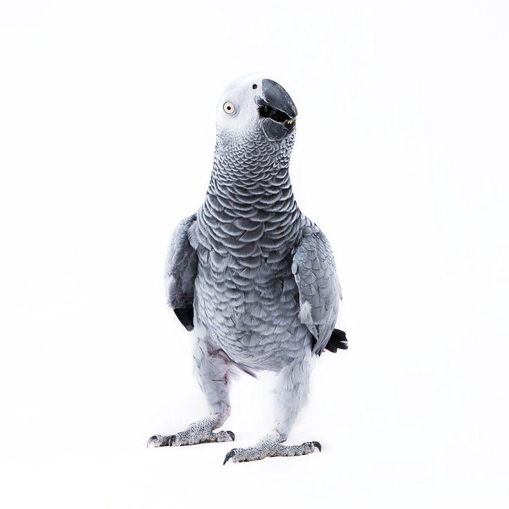 Un gris du Gabon nommé Kakou, cette photographie fait partie d'une série : Animal.