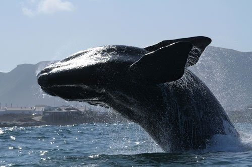 Hermanus, Cape Whale Coast- 40 minutes from Franschhoek, South Africa..
