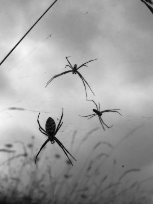 Photographie,  30 x 40 cm ©2007 par Jonathan Danikowski -  Photographie, Black and White Photography, macrophotographie (argiopes frelon, araignées)