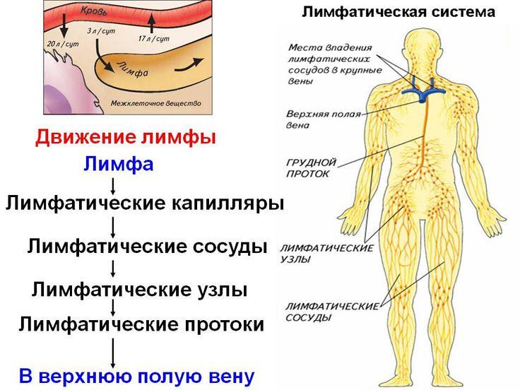 Лимфой называют жидкость, образующуюся из плазмы крови путем ее фильтрации в межтканевые пространства и оттуда в...