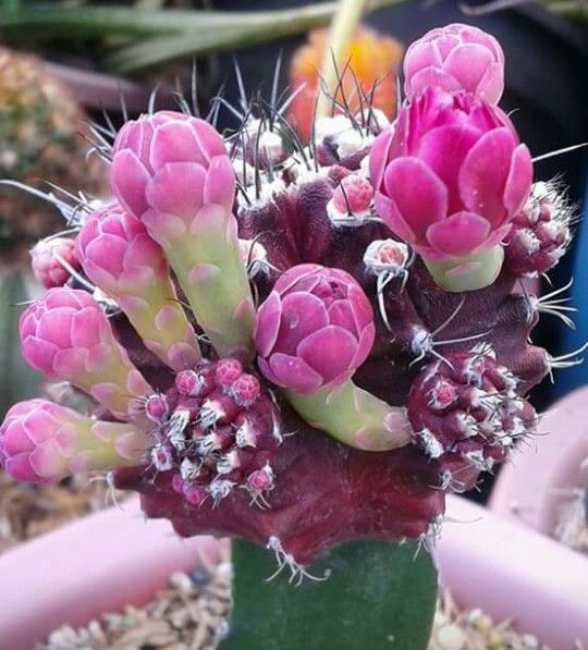 Grafted cacti in flower